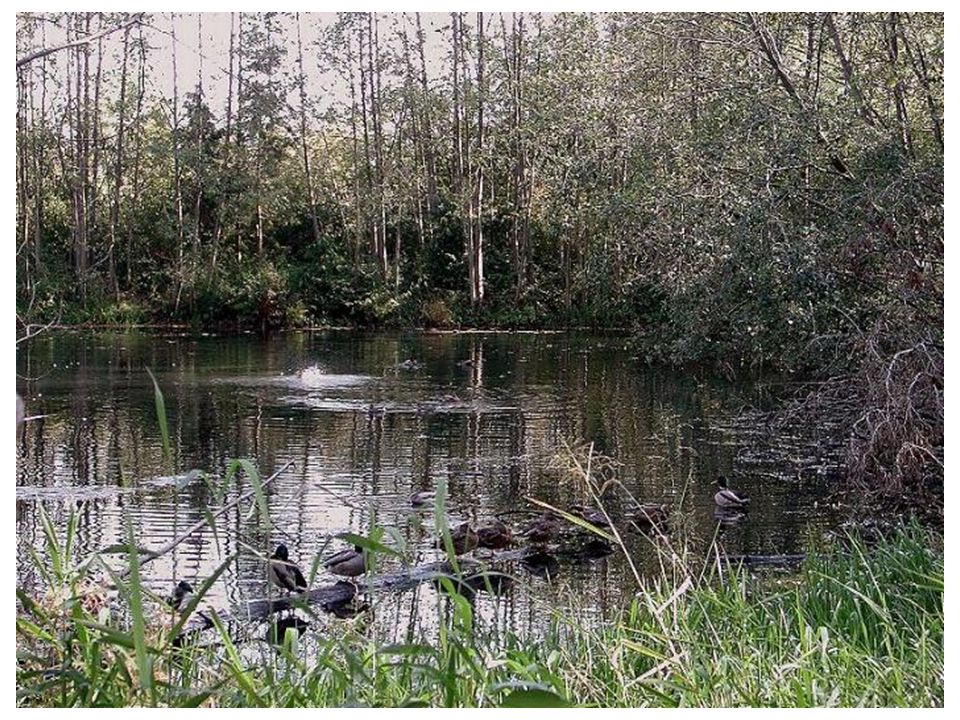 The wild ducks'pond