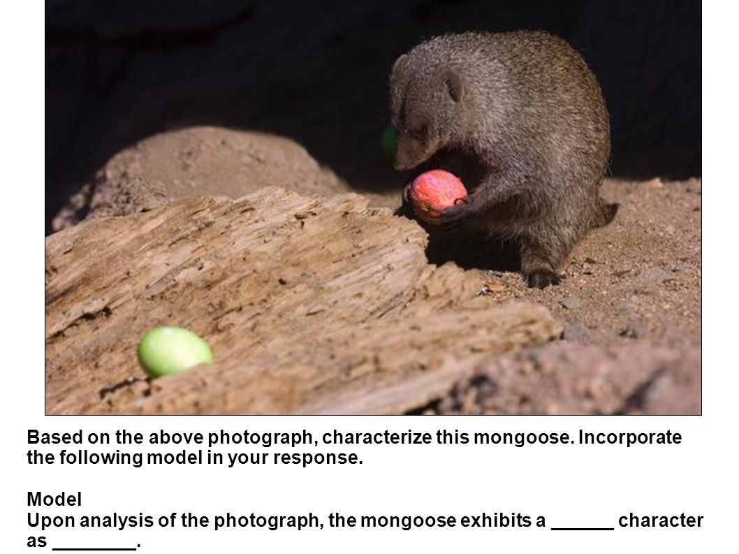 Based on the above photograph, characterize this mongoose