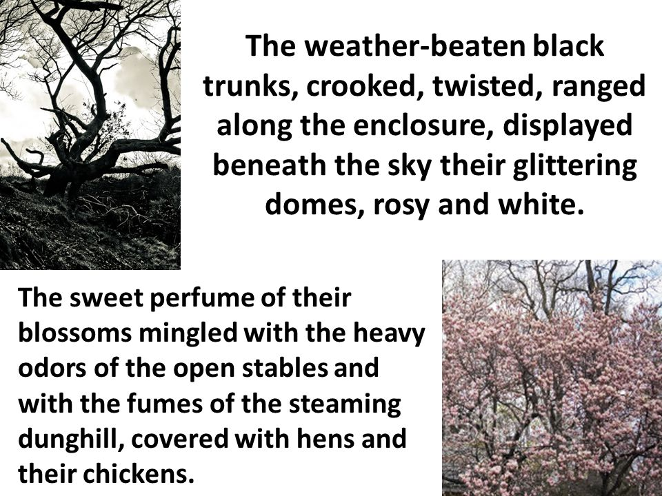 The weather-beaten black trunks, crooked, twisted, ranged along the enclosure, displayed beneath the sky their glittering domes, rosy and white.