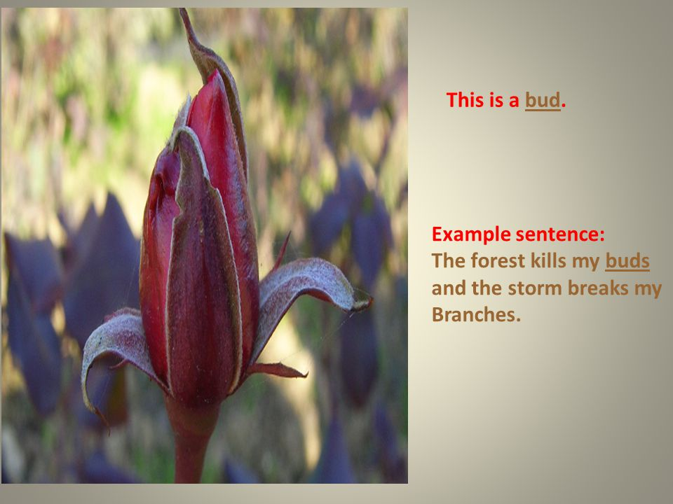 This is a bud. Example sentence: The forest kills my buds and the storm breaks my Branches.