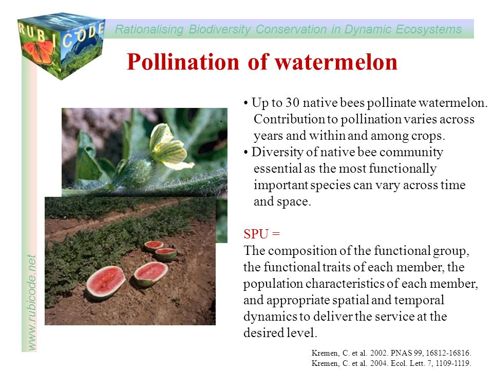 Pollination of watermelon