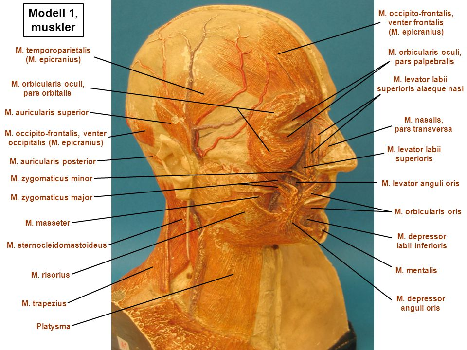 Modell 1 Muskler M Occipito Frontalis Venter Frontalis Ppt