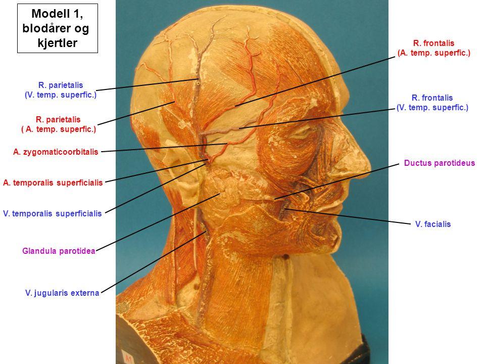 Modell 1, blodårer og kjertler
