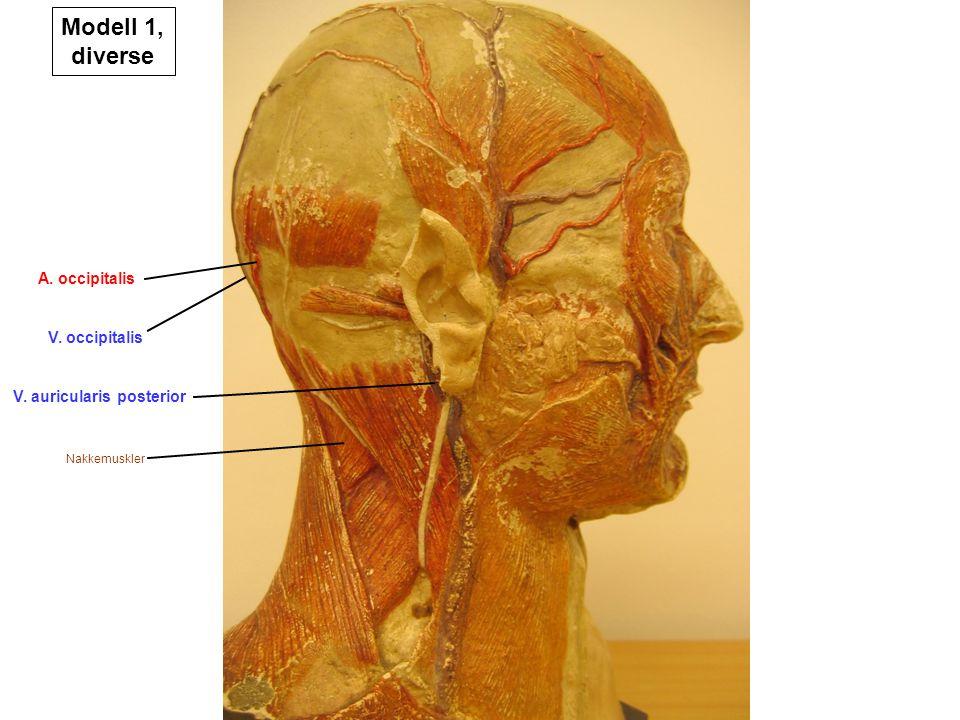 Modell 1, diverse A. occipitalis V. occipitalis
