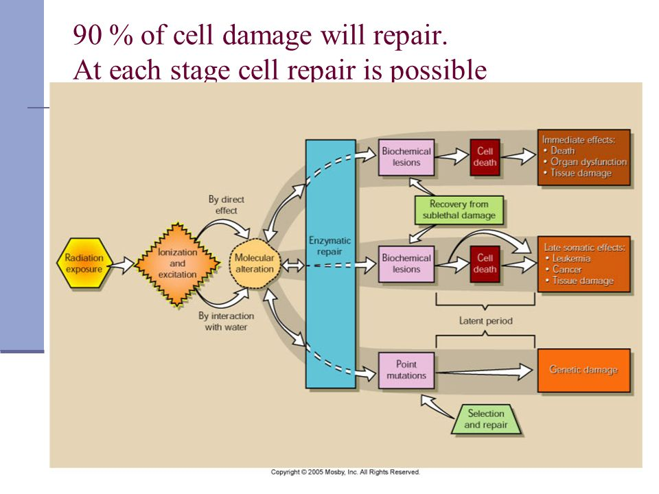 90 % of cell damage will repair. At each stage cell repair is possible