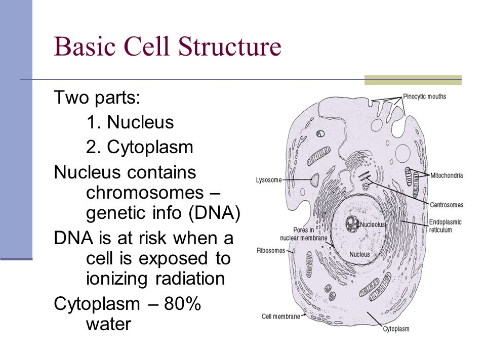 Basic Cell Structure Two parts: 1. Nucleus 2. Cytoplasm