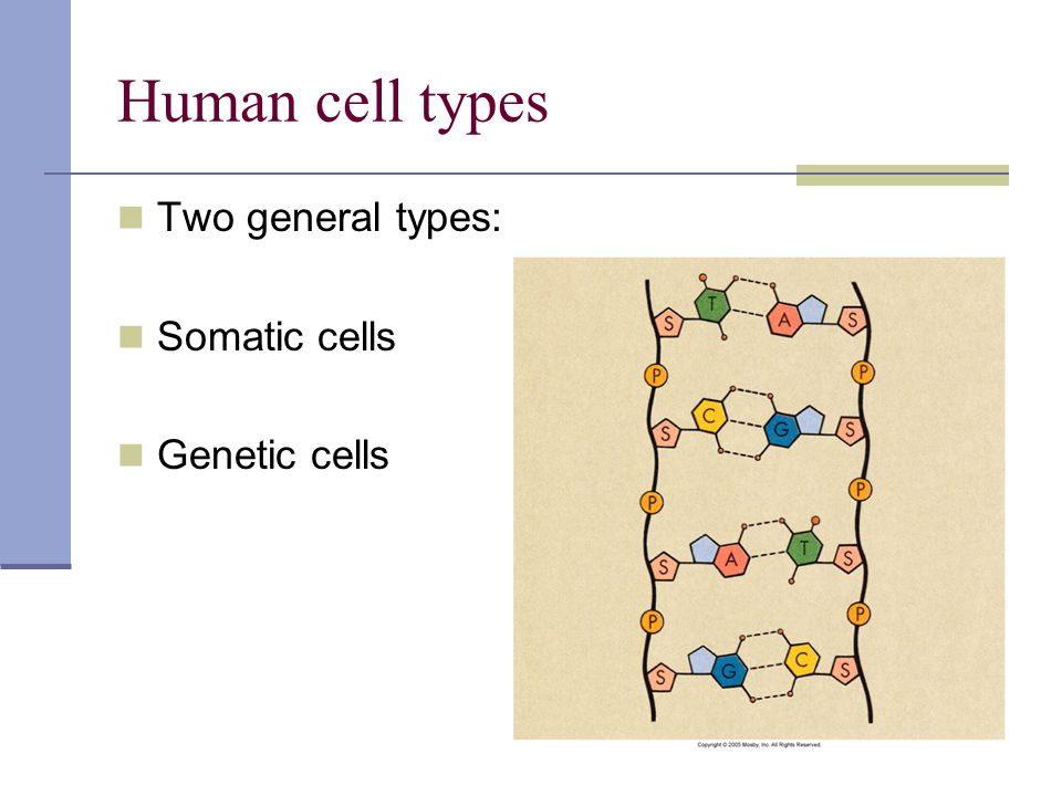 Human cell types Two general types: Somatic cells Genetic cells