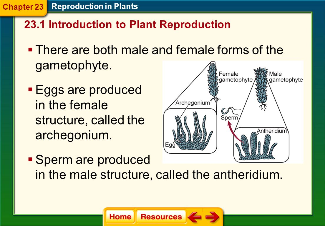 There are both male and female forms of the gametophyte.