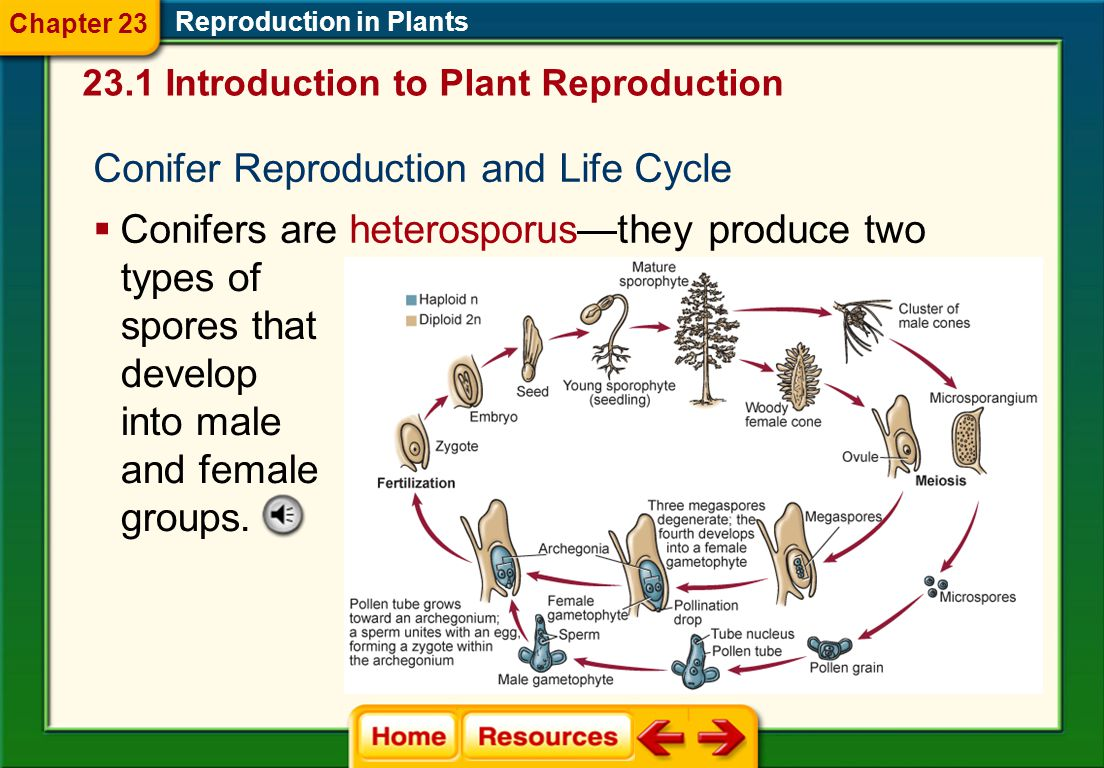 Conifer Reproduction and Life Cycle