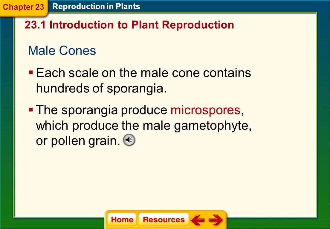 Each scale on the male cone contains hundreds of sporangia.
