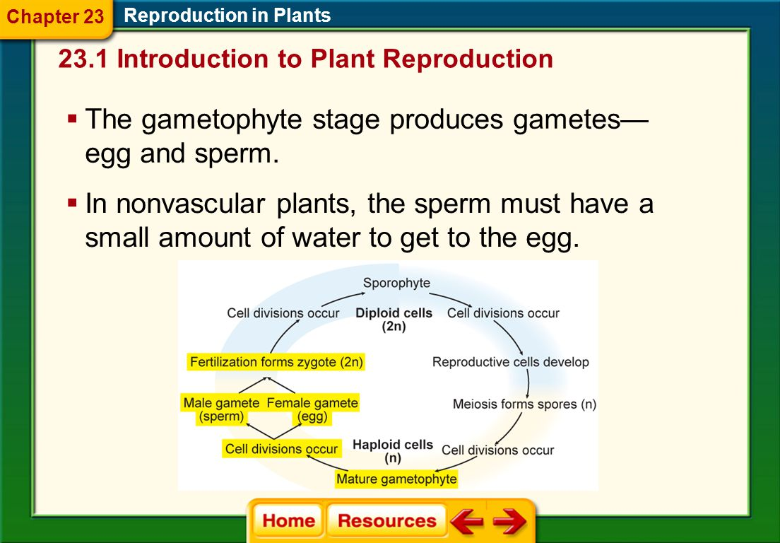 The gametophyte stage produces gametes—egg and sperm.