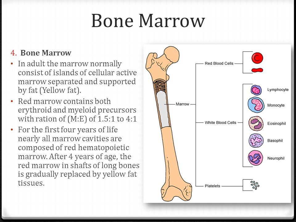 Bone Marrow 4. Bone Marrow