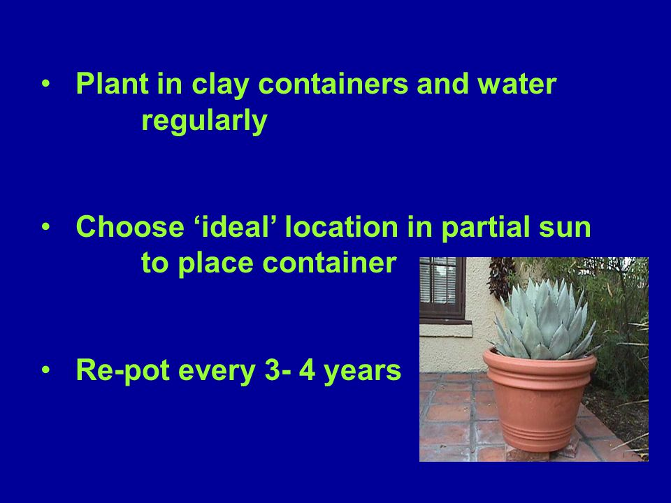 Plant in clay containers and water regularly