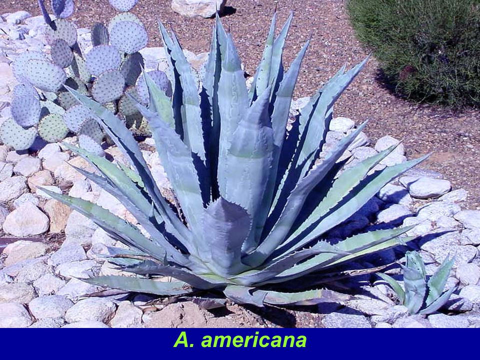 A. americana is a commonly-grown species and is a large plant (up to 8 ft. in diameter). It is reliably cold hardy to the mid - to - low twenties (F), offsets prolifically and flowers after many years. It is particularly susceptible to Agave Snout Weevil attack.