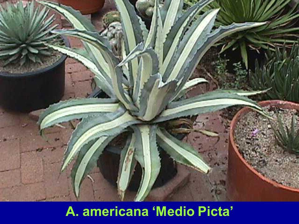 A. americana 'Medio Picta'