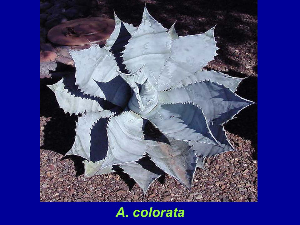 A. colorata is a large species that grows to four feet or more in diameter. It characteristically leans toward the sun and vertical specimens are rarely seen. It is reliably cold hardy to 25 degrees F. .