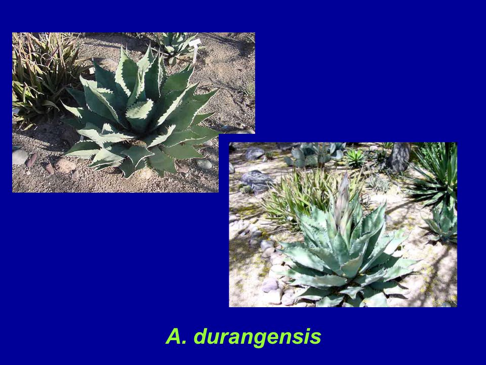A. durangensis is cold hardy to about 10 degrees F, and is a large plant with a mature size of 3 - 4 ft. tall and 5 - 6 ft. wide. At the Pima County Extension cactus garden in Tucson, the specimens are approximately 18 - 24 inches in height and width prior to blooming. It offsets sparingly.