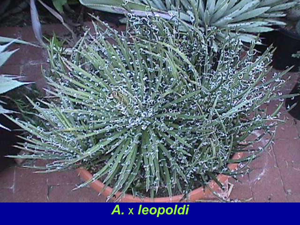 A. leopoldi is thought to be a naturally occurring hybrid of A