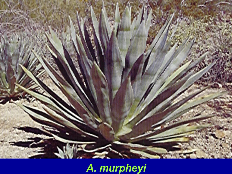 A. murpheyi is a commonly grown species and typically grows to 2 - 3 ft. tall and 3 - 4 ft. across. Since it rarely sets seed, this species is grown from bulbils which are small clonal plantlets found on the inflorescence. It is cold hardy to at least 25 degrees. It is closely associated with native American ruins and is thought to have been grown from Mexico north to central Arizona lending to theory that it was used as a food and fiber source and traded by native American cultures.