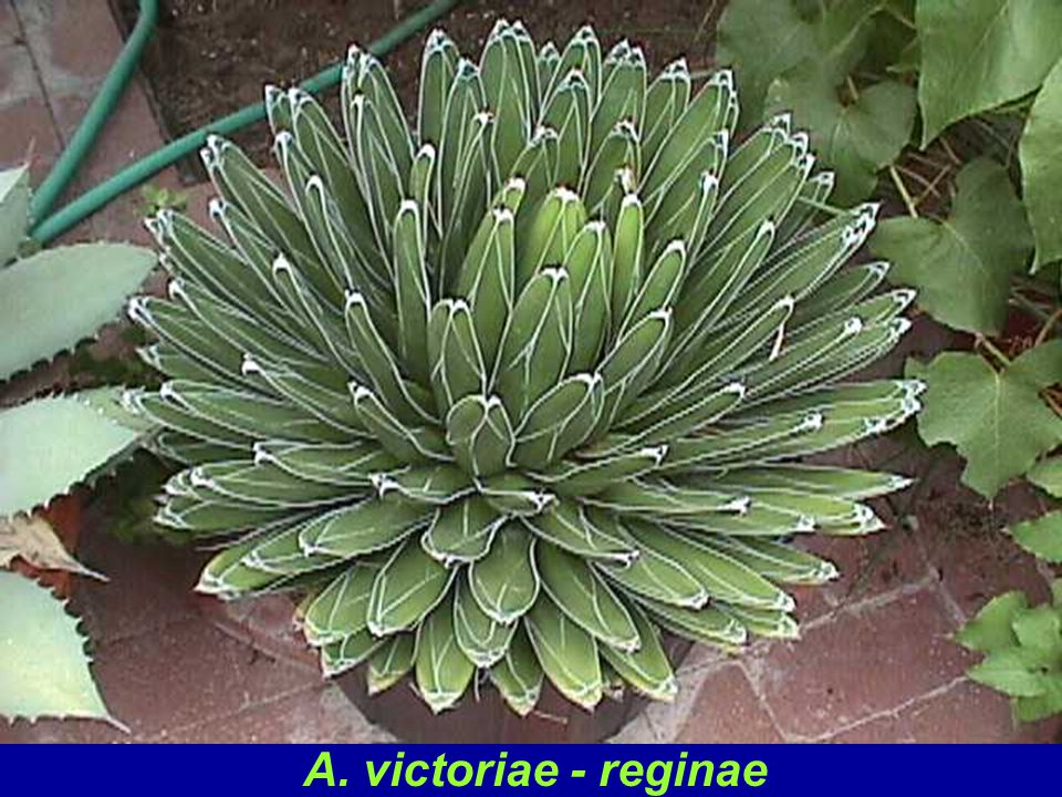 This species a favorite of most gardeners and agave fanciers