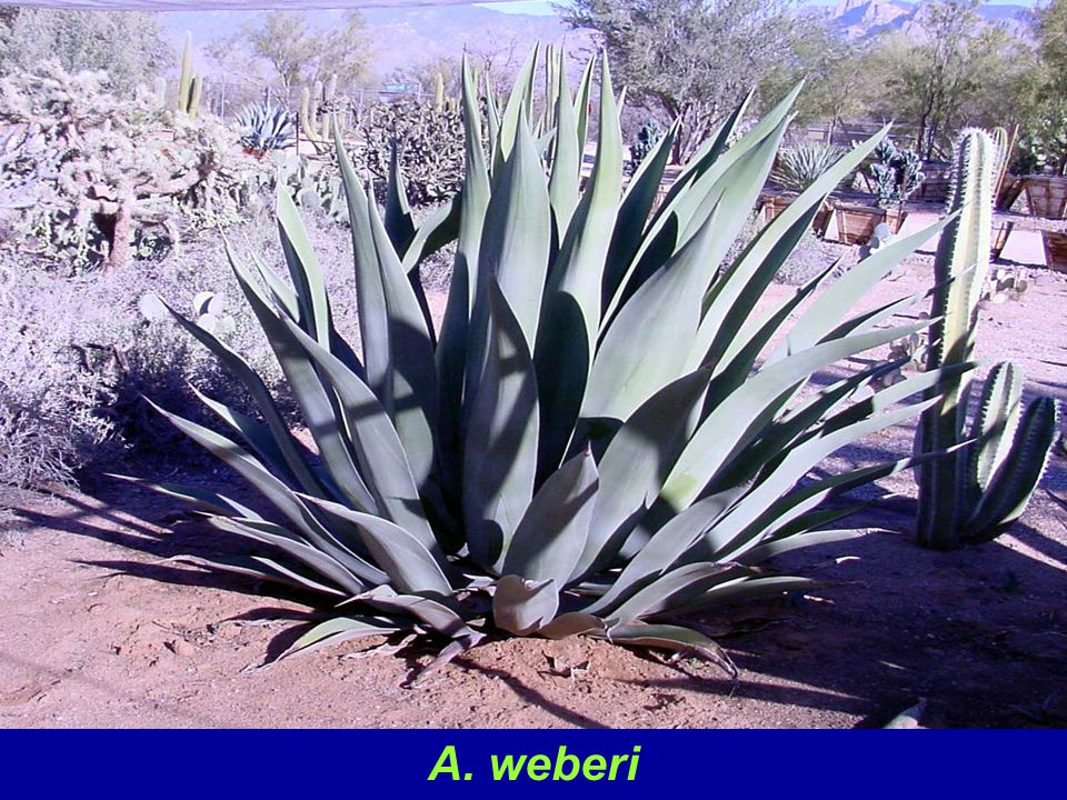 A. weberi is a large species not suited to small yards