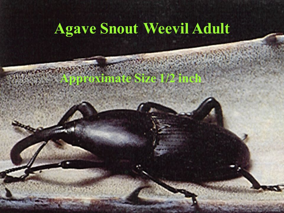 Agave Snout Weevil Adult