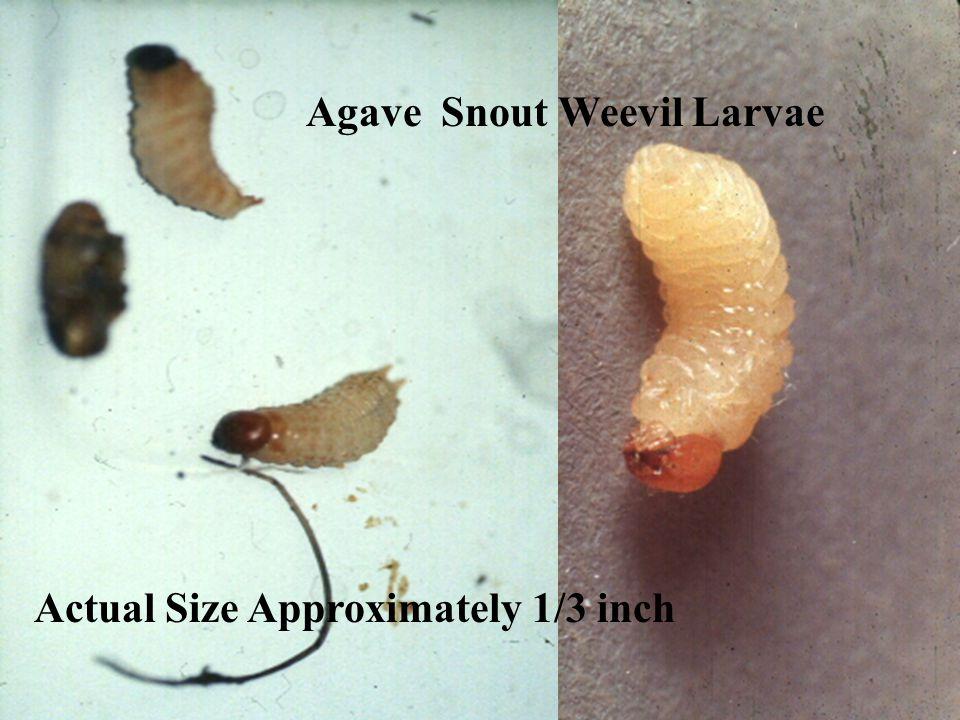 Agave Snout Weevil Larvae