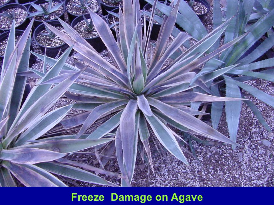 Many agaves are damaged a freezing and below freezing temperatures