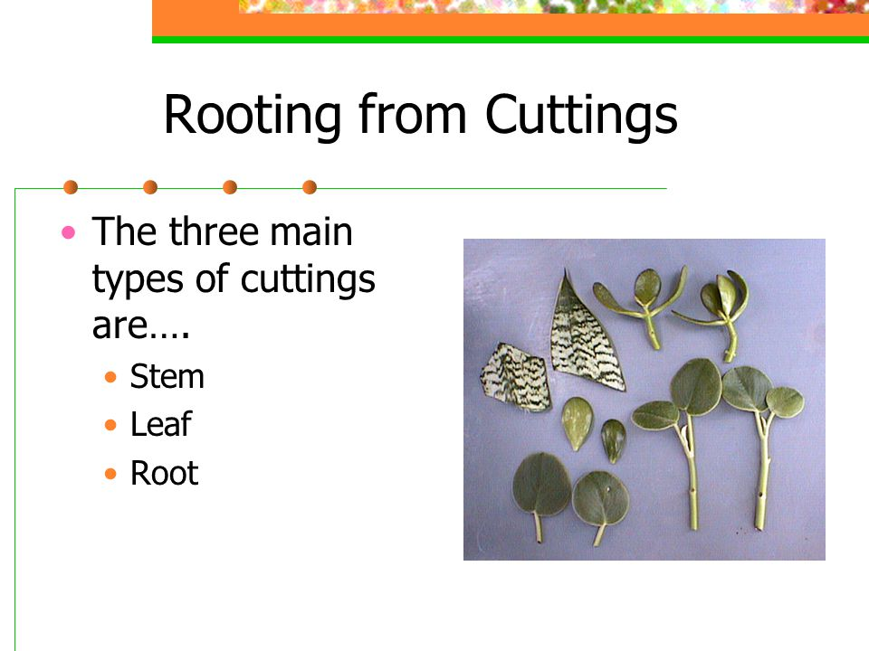 Rooting from Cuttings The three main types of cuttings are…. Stem Leaf