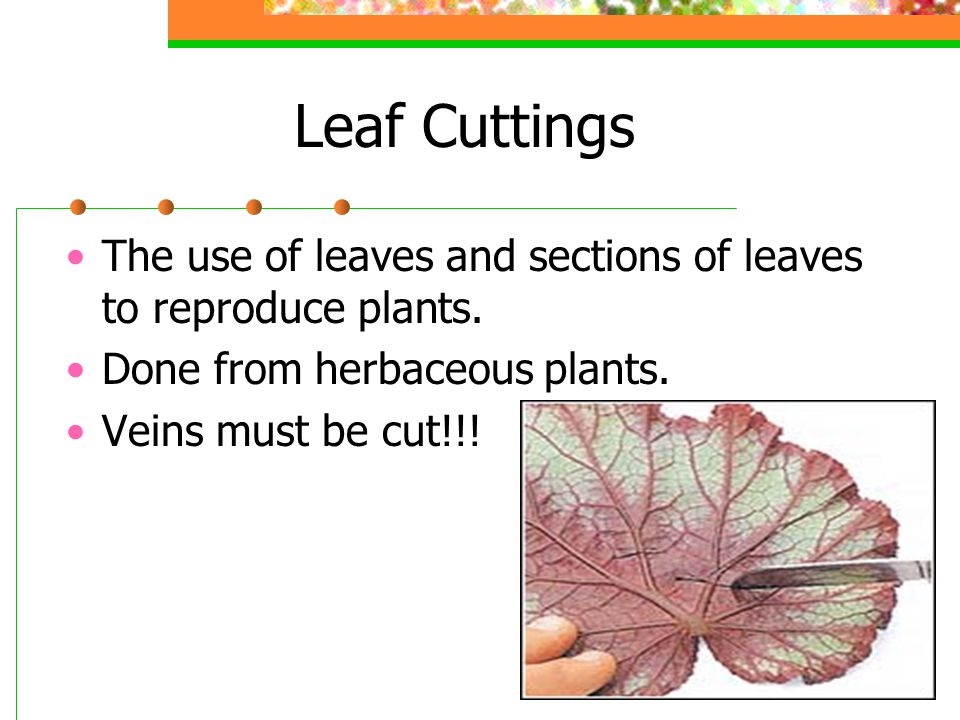 Leaf Cuttings The use of leaves and sections of leaves to reproduce plants. Done from herbaceous plants.