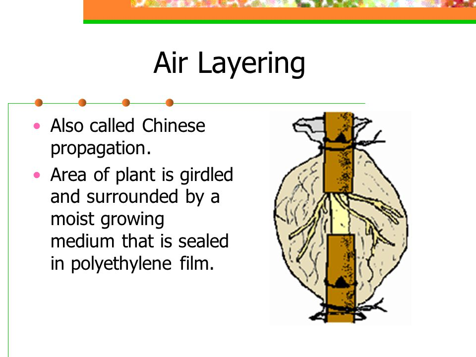 Air Layering Also called Chinese propagation.