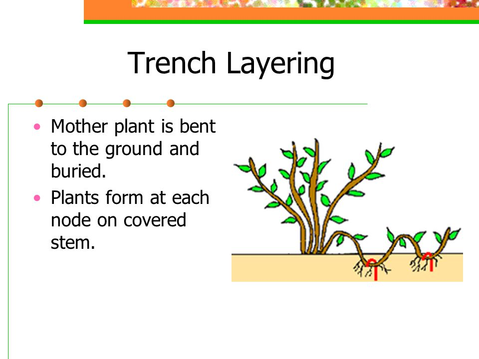 Trench Layering Mother plant is bent to the ground and buried.
