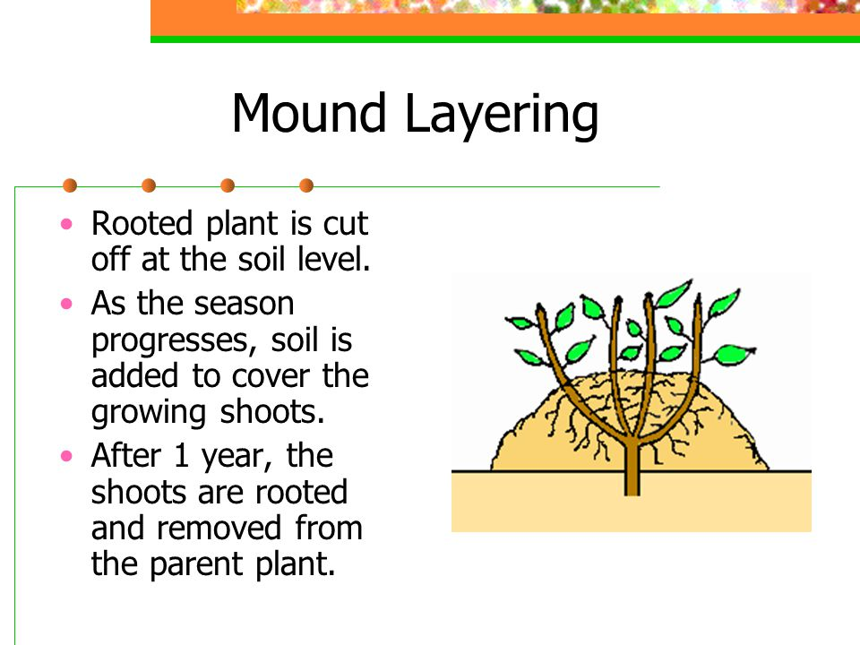 Mound Layering Rooted plant is cut off at the soil level.