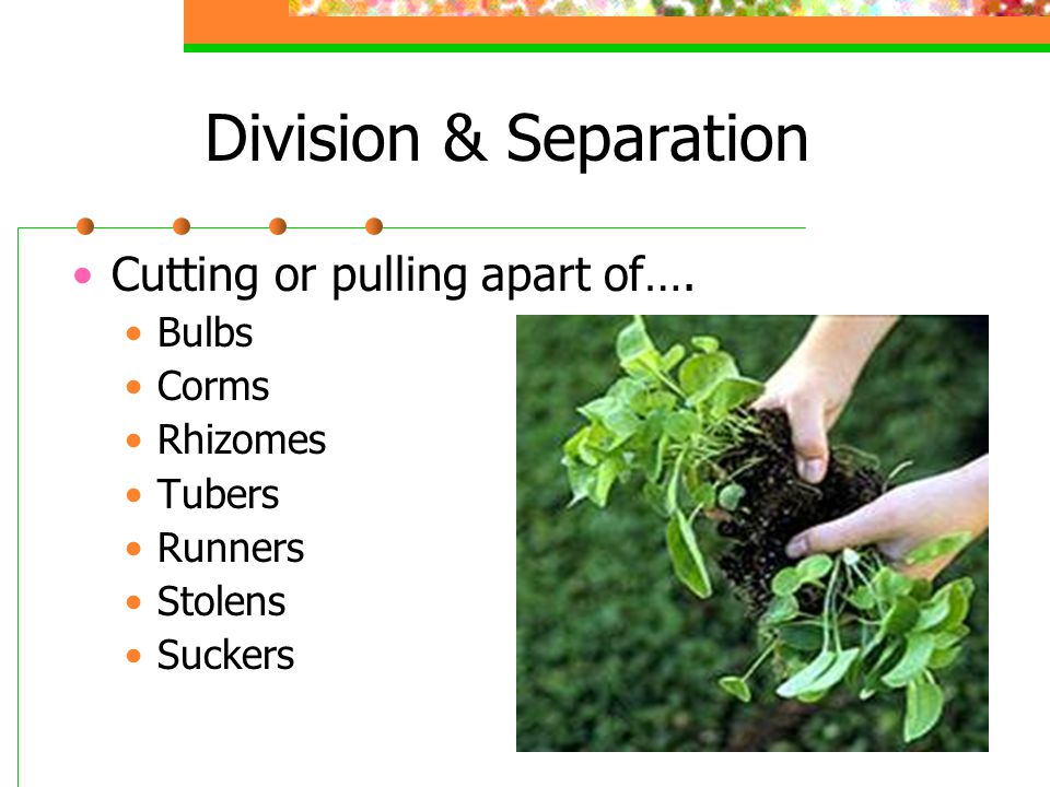 Division & Separation Cutting or pulling apart of…. Bulbs Corms