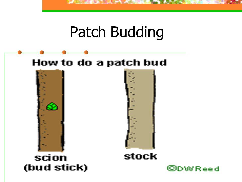 Patch Budding