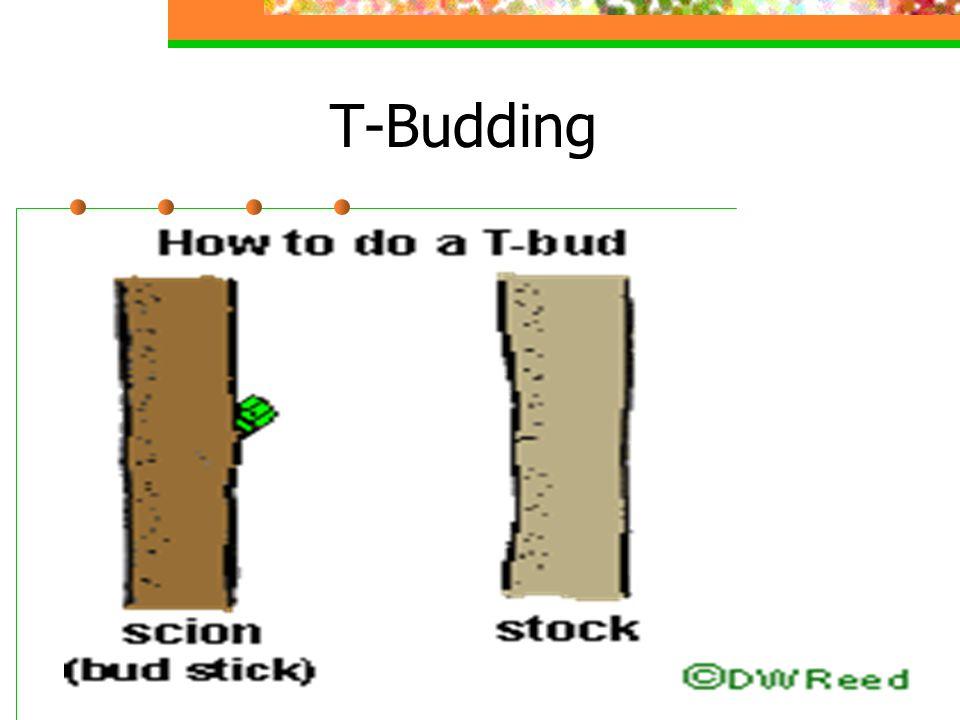 T-Budding