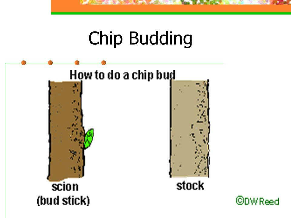Chip Budding