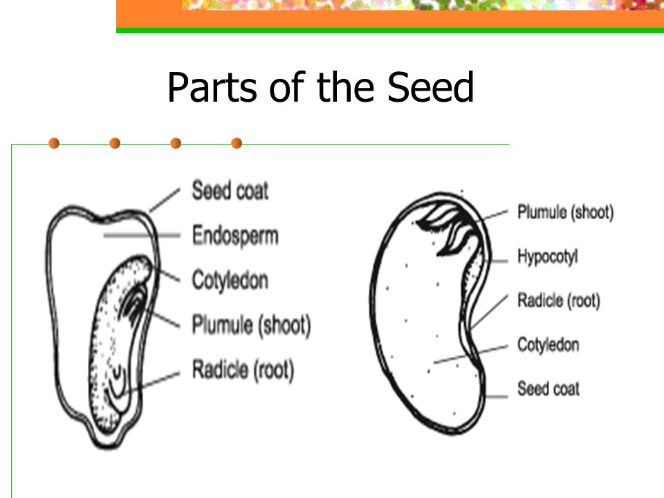 Parts of the Seed