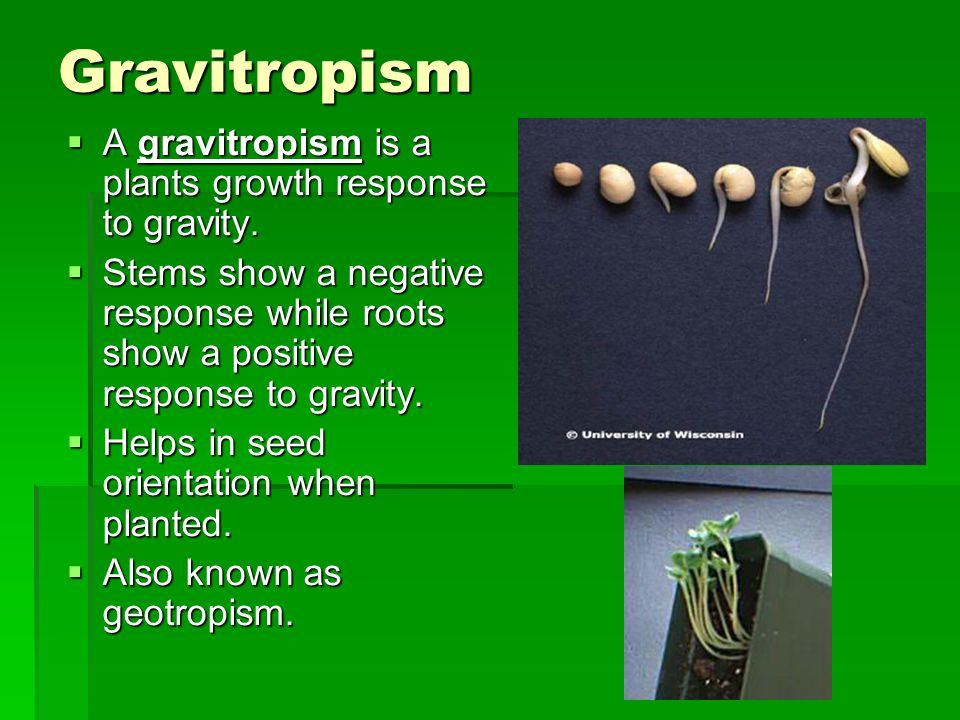 Gravitropism A gravitropism is a plants growth response to gravity.