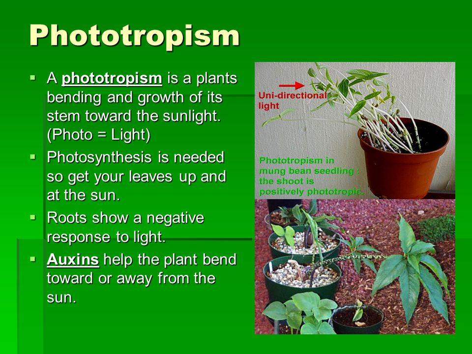 Phototropism A phototropism is a plants bending and growth of its stem toward the sunlight. (Photo = Light)