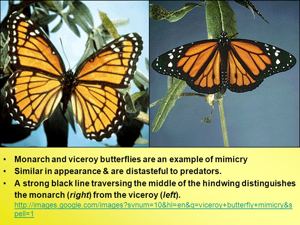 Monarch and viceroy butterflies are an example of mimicry