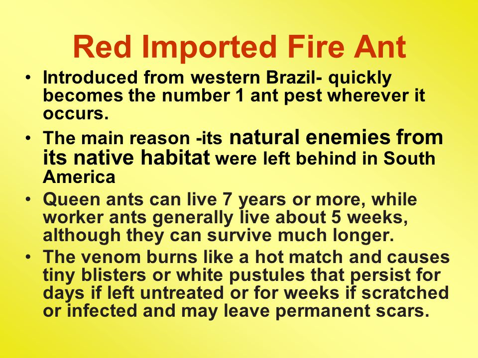 Red Imported Fire Ant Introduced from western Brazil- quickly becomes the number 1 ant pest wherever it occurs.