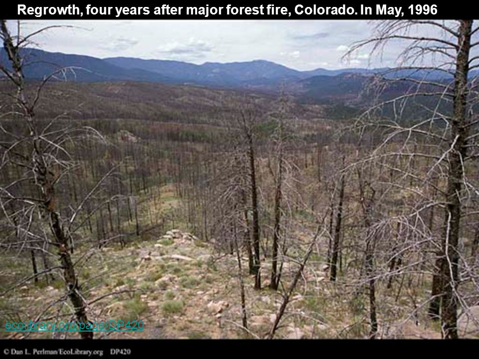 Regrowth, four years after major forest fire, Colorado. In May, 1996