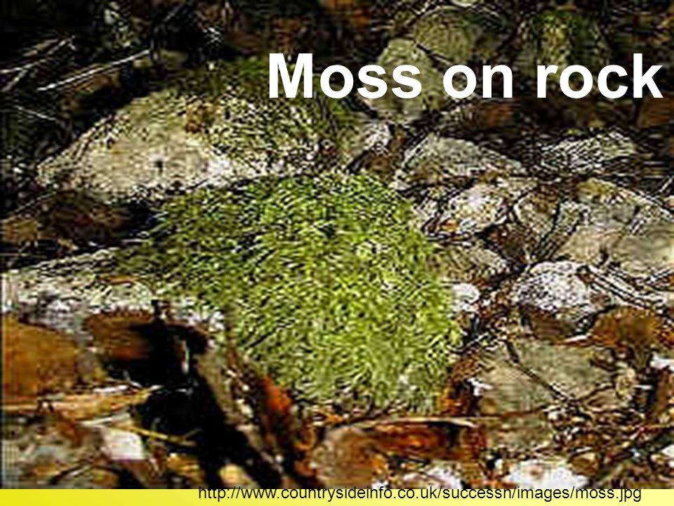 Moss on rock http://www.countrysideinfo.co.uk/successn/images/moss.jpg