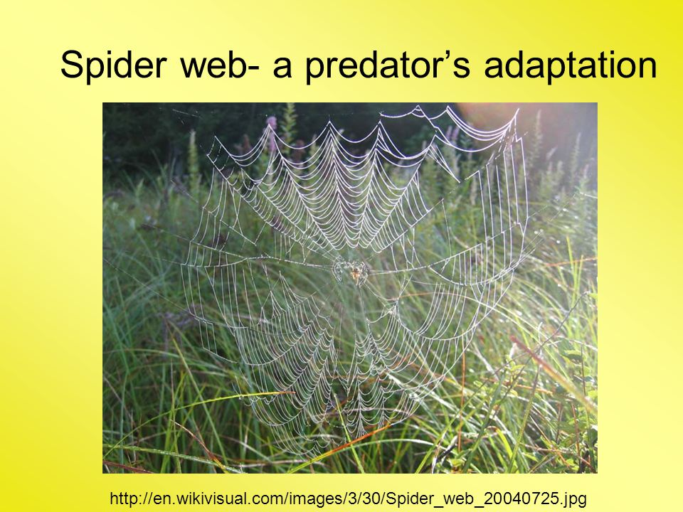 Spider web- a predator's adaptation