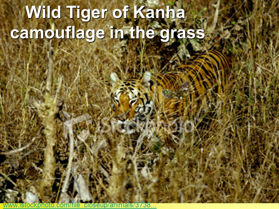 Wild Tiger of Kanha camouflage in the grass
