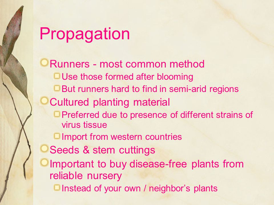 Propagation Runners - most common method Cultured planting material