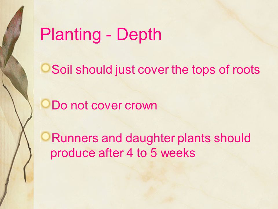Planting - Depth Soil should just cover the tops of roots