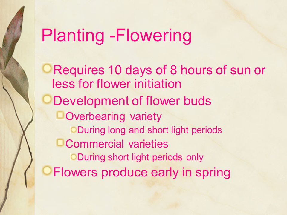 Planting -Flowering Requires 10 days of 8 hours of sun or less for flower initiation. Development of flower buds.