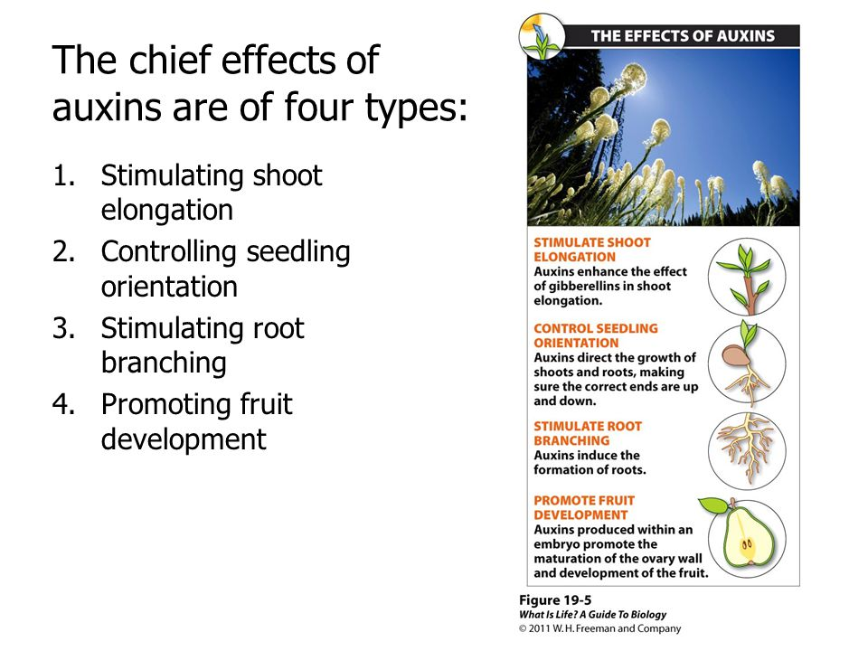 The chief effects of auxins are of four types: